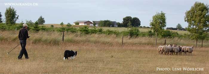 Kopy fradriver flokken af får