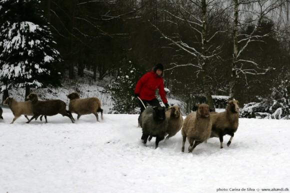 Sookie - deling af får