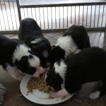 puppies like the real food :-)
