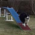 Indtil videre går træningen af løbefelt på balancebommen strygende – Sookie er nærmest flyvende over balancen 😉 Hun tager kun 6 skridt på balancebommen og det tager kun ca 1,24 […]