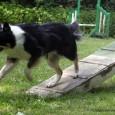 Sookie er begyndt at strække mere ud, når hun løber over balancen – så nu rammer hun praktisk talt altid med bagbenene 20 cm nede på feltet på de lange […]