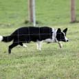 Hundenes opdrætter, Jette, er ovre og afholde en instinkt test (dvs afprøve om hundene har et hyrdeinstinkt), så vi fik lige chancen for at træne lidt før. Sookie var helt […]