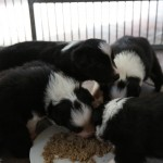 puppies getting real food for the first time