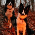 The sun was setting and the colours in the wood whas just so amazing – I captured this photo today of my Golden Girls 😀 Solen var ved at gå […]