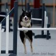 Sookie lærte først i juliat løbe en hel bane, hvor overliggerne på springene var sat i en højde på 55 cm. Og på kun 3 uger var hun ude af […]